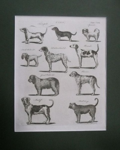 Bell Andrew - Canis,Dogs,plate CXVIII